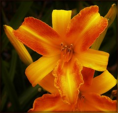 Day Glow (MissyPenny) Tags: summer orange flower yellow garden golden glow daylily summertime bristolpennsylvania pdlaich