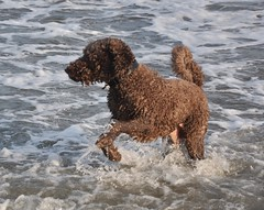 Splashing About (sfPhotocraft) Tags: dog water newjersey nj labradoodle jerseyshore popeye