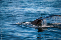 Gliding (JoLoLog) Tags: cruise usa alaska canoneos20d whale 53 humpbackwhale whalewatching hoonah moshe alaskacruise alaskancruise celebritycentury icystraitpoint seapassage