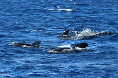 Short-finned Pilot Whale - Madeira, Portugal