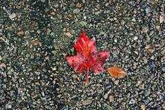 DSC05004 (asterix&) Tags: new autumn red england leaves pavement lexington massachusetts foliage