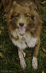 DDC-Look Of Anticipation (JUST PLAIN HOT!!!) Tags: fun happy sweet tired ready anticipation chocolatebordercollie watercolourprocessing shizandra ddc736115 whosgotthelook lovestoplayball