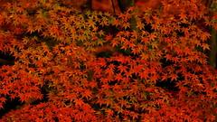 Momiji 20131116_02 (Toshikazu.Maeda) Tags: autumn red fall japan sony momiji kobe 70200 sal70200g slta77