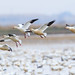 1SnowGeese_E3B0736_4x6 copy