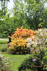 Rhododendron 69 (riccpics) Tags: trees fleurs garden botanical bush jardin arbres bloom botanique arbustre