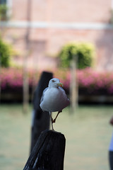 A Seagull! (tofoxxx) Tags: wood venice canal bokeh seagull