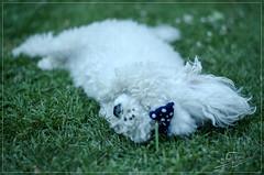 Jugando a la escondida. (williamsdaniel) Tags: dog argentina nikon perros mascota caniche dubys d5100