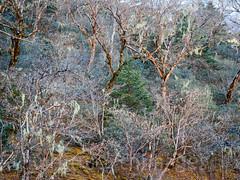Moss-draped forest (whitworth images) Tags: trees nepal cold nature forest trekking landscape outdoors nationalpark moss asia rhododendron spanishmoss fir lichen birch himalaya khumbu everest deboche highaltitude sagarmatha solukhumbu sagarmathanationalpark