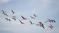 Tall and Slinky (Universal Stopping Point) Tags: sky nature birds flying colorful wildlife flight flamingos omovalley ethiopia arbaminch lakechamo