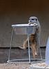 Meerkat Determination