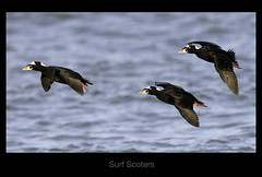 surf scoters (Christian Hunold) Tags: bird duck longbeachisland barnegatlight scoter surfscoter divingduck brillenente christianhunold
