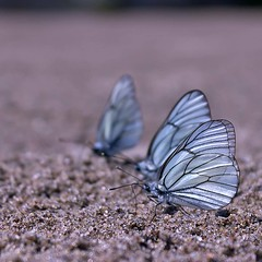 all the king's men (Sergey S Ponomarev) Tags: light summer macro nature canon butterfly wings sand dof russia outdoor ngc wing butterflies vyatka 450d sergeyponomarev viatka сергейпономарев
