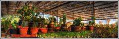 The Shamans Garden (Dr. C (Looking for a Publisher)) Tags: cactus garden thailand hdr mescaline geometrizans myrtillocactus