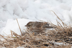 Savannah Sparrow (surfbird917) Tags: winter snow ny newyork bird grass female sam unitedstates stuart hidden sparrow lapland savannah camoflauge hidding pineisland lalo longspur laplandlongspur blackdirt