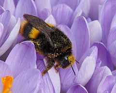 bumble bee showing Mite loading (Brian Wadie Photographer) Tags: moss crocus bumblebee snowdrops pollen hoverfly uye neittrip