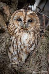 Tawny Owl (Strix aluco) (Tom Dean.) Tags: uk wild nature birds canon mark wildlife iii owl 5d owls tawny 420mm 300mmf28lisii