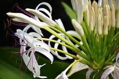 queen emma spider lilies (heartinhawaii) Tags: pink white plant macro nature hawaii flora lily purple bokeh lilies hawaiian tropical bigisland spiderlily hawaiianflowers kohalacoast southkohala nikond3100 queenemmalilies bigislandinfebruary hawaiiinfebruary