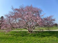 aufgenommen am 12. Mrz 2014 (mama knipst!) Tags: tree march spring cherryblossom baum mrz frhling kirschblte kirschbaum natzur