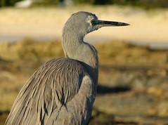 Early Bird (jenni747) Tags: sea beach heron nature grey sand rocks feathers wildlfe