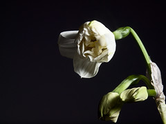 Floreciendo. (cachanico) Tags: flowers flores flower fleur fleurs flash flor olympus fiori fiore teruel narciso e30 nissin aragn zd1454 difusor nissindi466 rf602 cachanico
