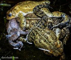 American Toad (Bufo americanus) - multiple males amplexing female (DaveHuth) Tags: ny water spring amphibian toad breeding houghton meatball americantoad bufoamericanus farmpond amplexus anuran