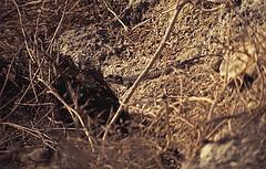 102Zypern Acheleia Eidechse (Rdiger Stehn) Tags: 1982 1983 zypern mittelmeer sommer tiere reptil cyprus kibris pafos baf europa sdeuropa insel urlaub dia minoltasrt100x acheleia natur analogfilm scan minoltadimagescandualii eidechsen slide mittelmeerraum makro nahaufnahme kypros 1980er 1980s analog diapositivfilm kleinbild kbfilm 35mm makroaufnahme