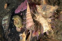Oban-201404-LochCreran-Echinoderm1-ShoreSeaUrchin-AndFriends-PsammechinusMiliaris (Tony J Gilbert) Tags: scotland marine underwater diving scubadiving oban underwaterphotography marinefish 60mmlens nikond300 wwwlochalineboatscouk wwwfinscouk