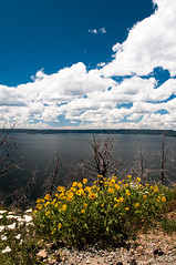 Summer's Wild Flowers (wenzday01) Tags: park travel flowers sky lake nature water clouds nationalpark nikon yellowstonenationalpark yellowstone wildflowers wyoming nikkor wy yellowstonelake d90 nikond90 lakebutteoverlook 18105mmf3556gedafsvrdx