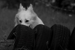 Lilly #3 - peek-a-boo (G&R) Tags: portrait dog animal canon photography eos prime is jump lincolnshire 300mm agility 7d f4