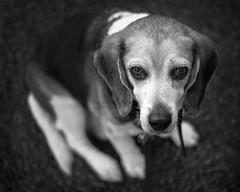 Penultimate Walk (Pluck and Lights) Tags: dog beagle portland 50mm larry pdx f18 mounttabor nikon50mmf18gafs nikond5200 dedpxl08