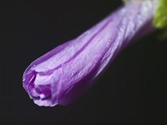 Malva. (cachanico) Tags: flowers flores flower fleur fleurs flash flor olympus zaragoza mallow mauve fiori fiore e30 nissin malva aragn daroca dcr250 raynox 40150mm raynoxdcr250 zd40150 difusor di466 nissindi466 cachanico