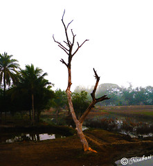 Sundarban 137 (NIRA BANERJEE) Tags: india tree rural landscape photography asia alone solidarity solitary sundarban