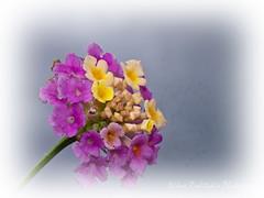Lantana camara flower (roditakisnikos) Tags: red wild white olympus nikos sage 60mm lantana camara verbenaceae mzuiko epm1 roditakis