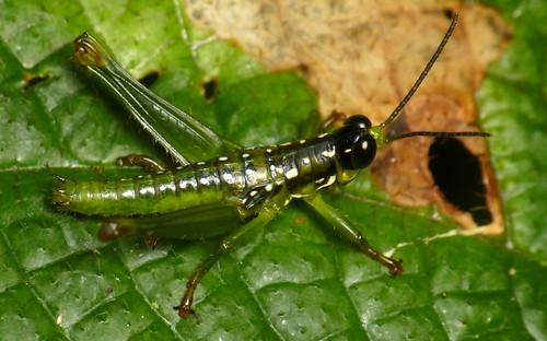 Grasshopper from Yasuni National Park, Chloropseustes brunneus