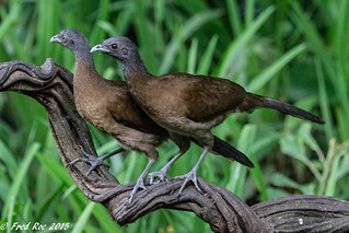 Grey-headed chachalaca [Ortalis cinereiceps]
