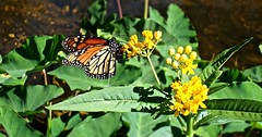 Spring Butterfly (BlueisCoool) Tags: orange flower color nature water beautiful butterfly insect outdoors photography photo spring colorful stream flickr foto bright image florida outdoor sony picture vivid cybershot monarch capture wildflower monarchbutterfly largoflorida dscw300