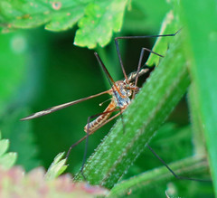 Cranefly - Daddy Longlegs (cocabeenslinky) Tags: world life city uk wild england green london art nature fauna canon insect daddy outdoors photography wings flora long power shot natural legs photos wildlife united capital may kingdom powershot east end greenery longlegs florafauna eastend cranefly 2016 tipula spidery g15 paludosa cocabeenslinky