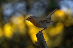 Robin (Sybalan,) Tags: holiday birds forest canon scotland outdoor sunny coastal blueskies seashore ornithology morayshire httpsybalanphotographyweeblycom
