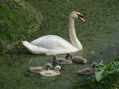 Ma Zwaan en kinderen Diemen (Arthur-A) Tags: netherlands swan nederland diemen zwaan