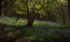 2016_05_0165 (petermit2) Tags: abbey bluebells nt yorkshire fountains fountainsabbey nationaltrust bluebell northyorkshire studleyroyal englishheritage studleypark riponstudleyroyalpark