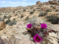hedgehog cactus (h willome) Tags: california cactus desert joshuatree wildflowers joshuatreenationalpark 2016 cottonwoodsprings
