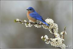 More Bluebirds (with blossums though..) (Earl Reinink) Tags: blue ontario bird spring nikon earl bluebird blossums easternbluebird nikond5 earlreinink reinink atoutdodra