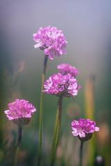 Pink Alpines (MacBeales) Tags: pink macro canon eos 350d petals alpine