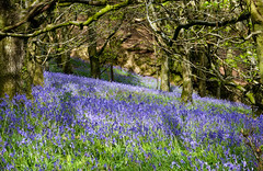A Blue Carpet (naturelass) Tags: flowers blue trees nature bluebells countryside spring woods hill may devon 2016 firebeaconhill sonyrx100m2