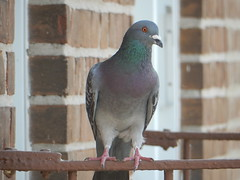 2016_04_22_Pigeon (TheMachineStops) Tags: nyc newyorkcity brick bird animal outdoor queens fireescape