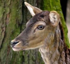 """"""" Damhert Dreilnderwald """" (Kalbonsai) Tags: tree closeup nikon boom bos wald auge hirsch hert damhert 55300mm d5100 naturphotography naturshot dreilnderwald"""