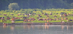 Happy cows and horses (Explored 13.06.2016) (Inka56) Tags: ngc cow horse danube river animals