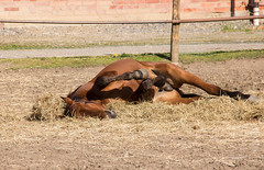 Roll around (Yvonne L Sweden) Tags: horse spring sweden may lazy maj hst taxinge