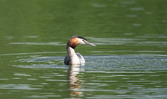 Great Crested Grebe (abritinquint Natural Photography) Tags: wild bird nature water river germany nikon natural wildlife 300mm telephoto fowl nikkor luxembourg f4 vogel grebe pf trier mosel greatcrestedgrebe tc14eii 300mmf4 teleconvertor d7200 pfedvr