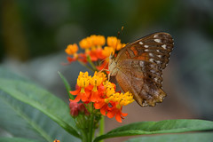 Brown Peacock Butterfly (Anartia amathea) (Seventh Heaven Photography) Tags: flowers brown animal butterfly wildlife peacock nikond3200 anartia anartiaamathea amathea